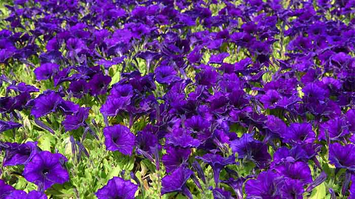 Petunias easy wave blue