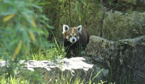 Panda roux Zoo de Lyon